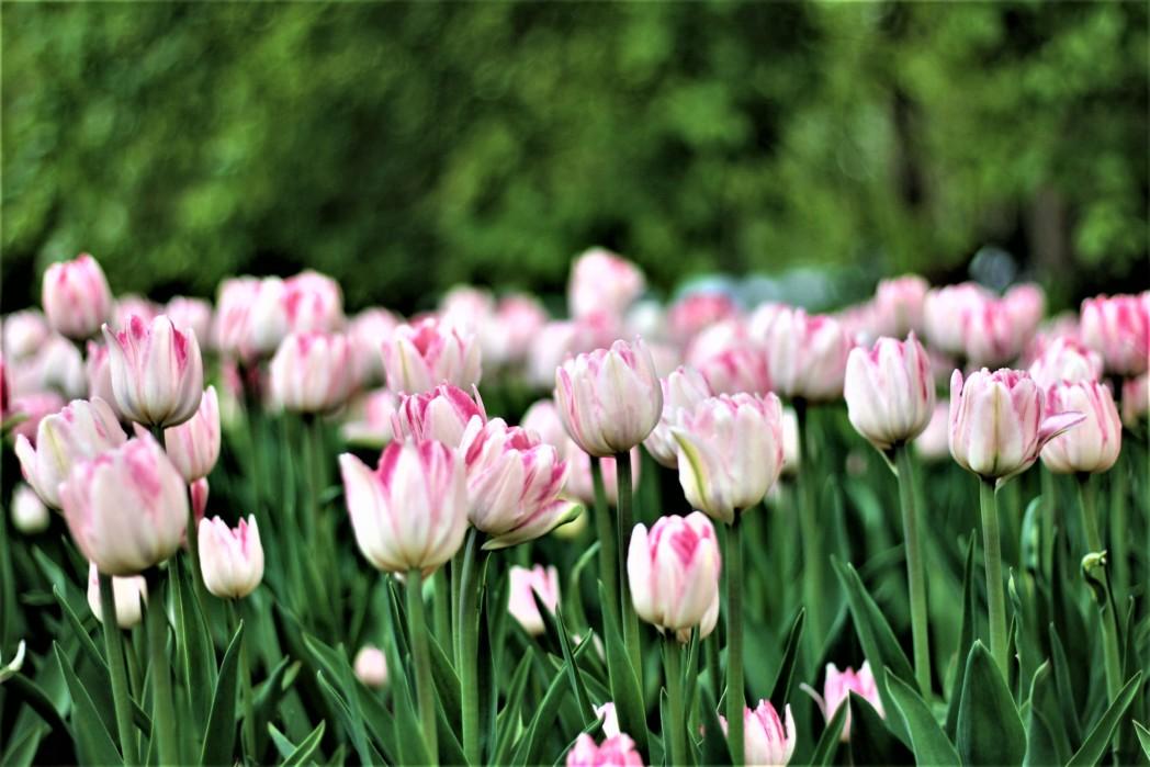 vaaleanpunaisia tulppaaneita