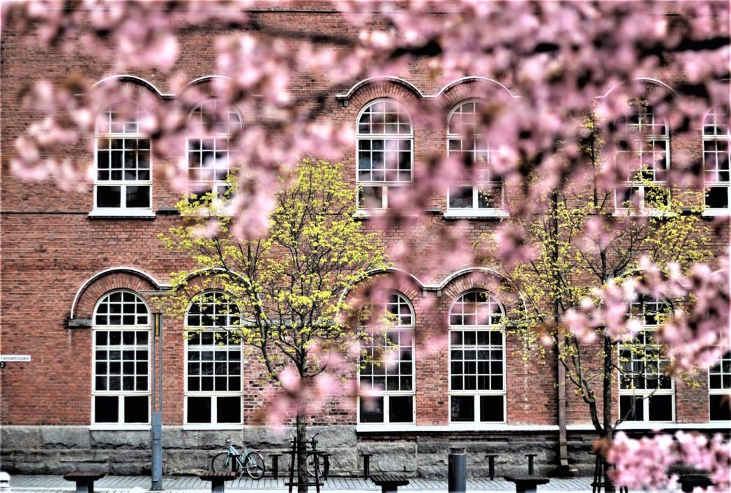 kukassa oleva kirsikkapuu. Takana punatiilinen rakennus.